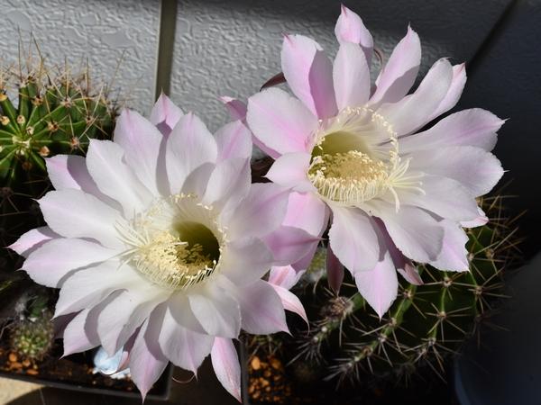 サボテンの花-2019